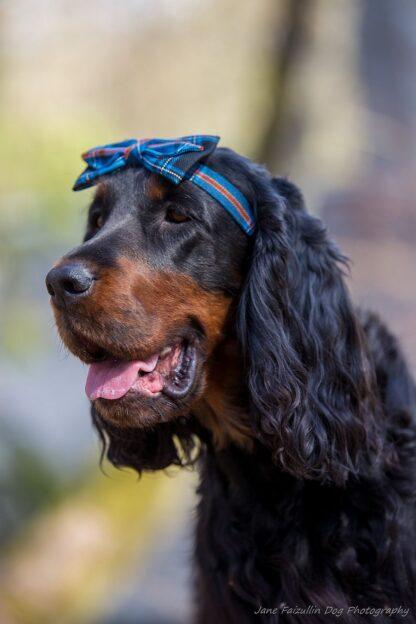 Tartan peapaelaga koera pilt